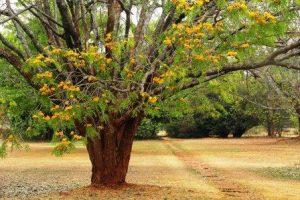 Cordyla africana. Photo: Bart Wursten. Source: Flora of Zimbabwe