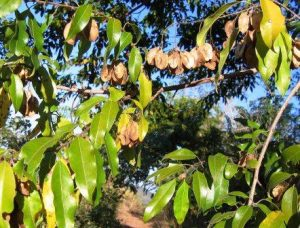 Pteliopsis myrtifolia. Photo: Stefaan Dondeyne. Source: Flora of Zimbabwe