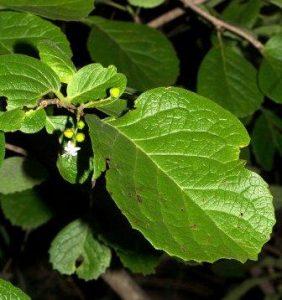 Ehretia obtusifolia. Photo: Bart Wursten. Source: Flora of Zimbabwe