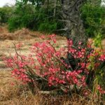 Adenium multiflorum. Photo: Bart Wursten. Source: Flora of Zimbabwe