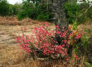 Adenium multiflorum. Photo: Bart Wursten. Source: Flora of Zimbabwe