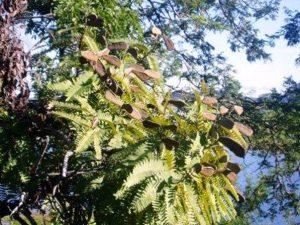 Brachyategia bohemii. Photo: Mark