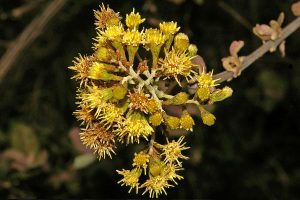 Brachylaena discolor. var rotundata. Photo: Meg Coates Palgrave. Source: Flora of Zimbabwe