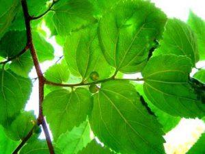 Celtis africana. Photo: Bart Wursten. Source: Flora of Zimbabwe