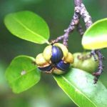 Margaritaria disooides Photo: Bart Wursten. Source: Flora of Zimbabwe