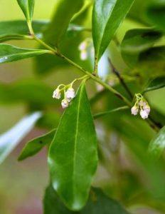 Euclea racemosa. Photo: Bart Wursten. Source: Flora of Zimbabwe