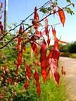 Acacia chariessa. Photo: L.A.Lauritsen Source: Flora of Zimbabwe