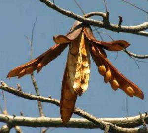 Entandrophragma caudatum. Photo: Bart Wursten. Source: Flora of Zimbabwe