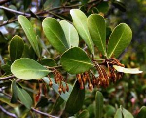 Manilkara concolor. Photo: Bart Wursten. Source: Flora of Zimbabwe