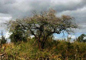 Strychnos spinosa. Photo: Bart Wursten. Source: Flora of Zimbabwe