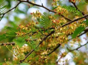 Tamarindus indica. Photo: Bart Wursten. Source: Flora of Zimbabwe