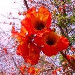 Fernandoa abbreviata. Photo: Bart Wursten. Source: Flora of Zimbabwe