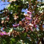 Zambezi Teak (Baikiea plurijuga). Photo: Burt Wursten. Source: Flora of Zimbabwe