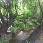 Stream below the dam, in very wet condition. One of the possibly naturalised specimens of Dracaena steudneri is visible in the picture. Photo: Burt Wursten. Source: Flora of Zimbabwe