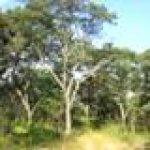 Miombo Woodland. Mukuvisi Woodland, Harare
