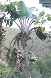 Strelitzia alba. Photo: Plantz Africa