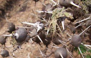 (Acacia drepanolobium) and the biting ant (Crematogaster)