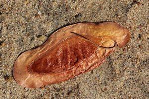 Newtonia hildebrandtii. Photo: Bart Wursten. Source: Flora of Zimbabwe.