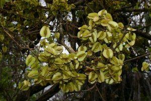 Combretum adenogonium. Photo: Bart Wursten. Source: Flora of Zimbabwe.