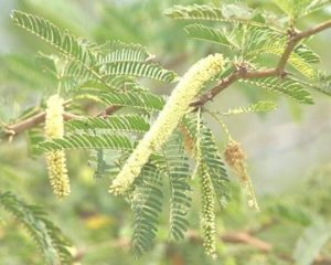 P. juliflora inflorescences and leaves, Krishna Wildlife S