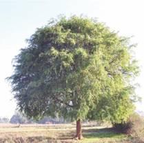 Tamarindus indica,. Photo: Wikipedia