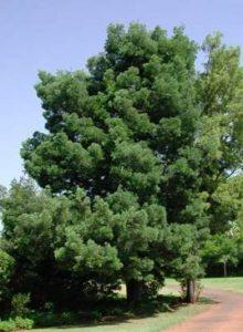 Podocarpus Photo: Wikipedia