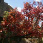 Hymenodictyon floribundum. Photo: Bart Wursten. Source: Flora of Zimbabwe