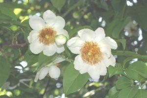 Oncoba spinosa. Photo: Bart Wursten. Source: Flora ofZimbabwe