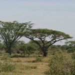 Acacia abyssinica, flat topped Acacia; Photo Wikipedia