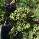 Brachystegia microphylla flowers. Photo: Rob Burrett. Source: Flora of Zimbabwe