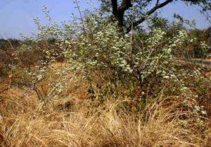 Combretum mossambicense. Photo: Bart Wursten. Source: Flora of Zimbabwe