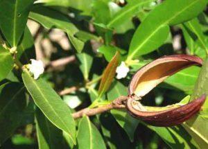 Mascarenhasia arborescens. Photo: Stefaan Dondeyne. Source: Flora of Zimbabwe