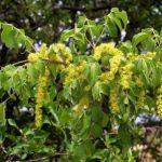Lannea schweinfurthii, ex L.stuhlmannii. Photo: Bart Wursten. Flora of Zimbabwe