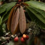 Bequaertiodendron magalismontanum. Photo: Bart Wursten. Source: Flora of Zimbabwe