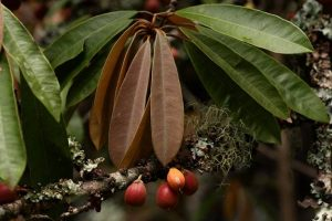 Bequaertiodendron magalismontanum. Photo: Bart Wursten. Source: Flora of Zimbabwe