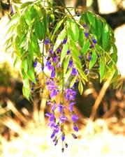 Bolusanthus speciosus. Photo: Bart Wursten. Source: Flora of Zimbabwe