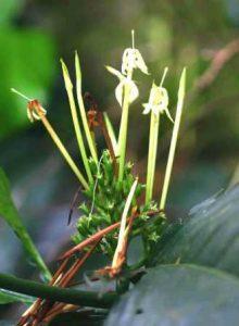 Oxyanthus speciosus flowering. Photo: Bart Wursten. Source: Flora of Zimbabwe