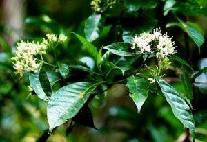 Tarrenna pavettoides. Photo: Bart Wursten. Source: Flora of Zimbabwe