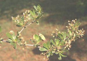 Terminalia randii. Photo: Bart Wursten. Source: Flora of Zimbabwe