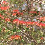 Combretum microphyllum. Photo: Petra Ballings. Source:Flora of Zimbabwe