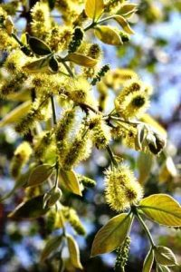 Combretum molle. Photo: Bart Wursten. Source: Flora of Zimbabwe