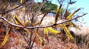 Elephantorrhiza goetzei. Photo: Mark Hyde. Source: Flora of Zimbabwe