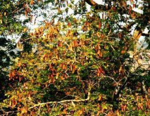 Erythrophloem suaveolens. Photo: Bart Wursten. Source: Flora of Zimbabwe