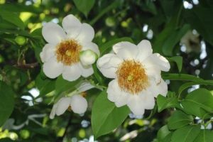 Oncoba spinosa flowers. Photo: Bart Wursten. Source: Flora of Zimbabwe