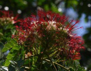 Albizia gummifera. Photo: Bart Wursten. Source: Flora of Zimbabwe