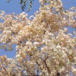 Dombeya rotundifolia, Photo: Bart Wursten. Source: Flora of Zimbabwe