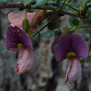 Ormocarpum kirkii flowers