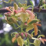 Tamarindus indica,flowers. Photo: Wikipedia