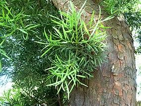 Podocarppus leaves and bark. Photo: Wikipedia