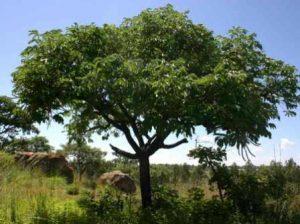 Cussonia arborea. Photo: Bart Cussonia arborea. Photo: Bart